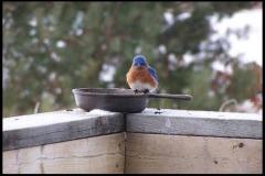 Bluebird 10