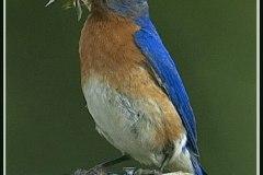 Bluebird 5