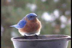 Bluebird 8
